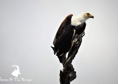African Fish Eagle At Sunset Dam Kruger Park