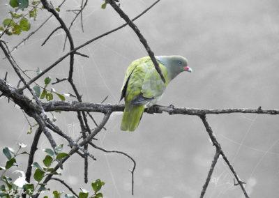 African Green Pigeon At Ntandanyathi Bird Hide Kruger Park