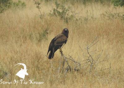 African Harrier Hawk Gymonogene Hunting For Small Birds