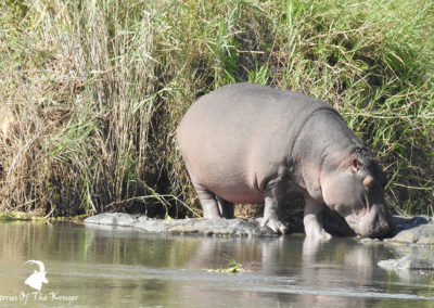 African Hippo Out Of The Water In The Sabie River Kruger Park