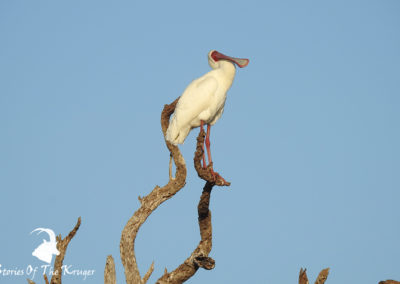 African Spoonbill Perched On Tree At Sunset Dam Kruger Park