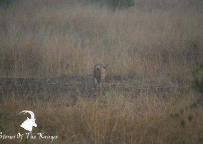 Black backed Jackal In The Mist On The S28
