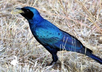Burchells Starling Eating A Grasshopper Kruger Park
