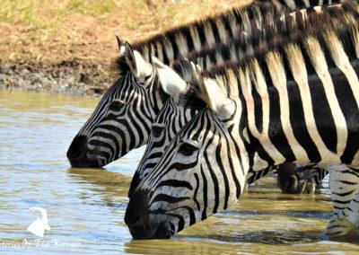 Burchell's Zebra Drinking On The S130 Kruger Park