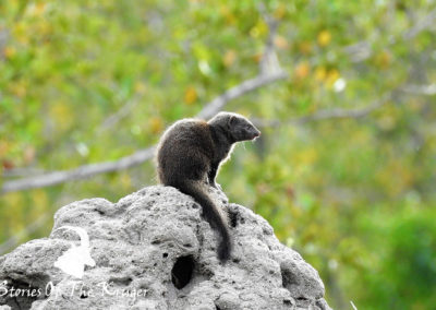 Dwarf Mongoose In The Early Morning Sun On The H3 Kruger Park