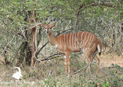 Female Nyala Ewe On The H4-1 Kruger Park