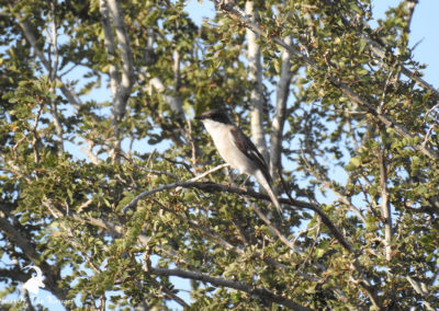 Fiscal Flycatcher In The Kruger National Park