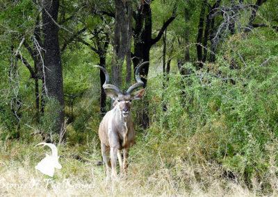Greater Kudu On The H3 Kruger Park