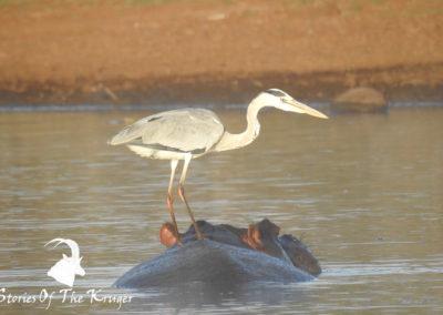 Grey Heron Riding Hippo At Sunset Dam Kruger Park