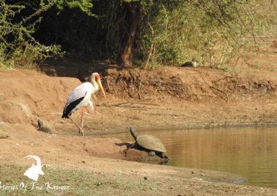 Helmeted Terrapin And Yellow-billed Stork Sunset Dam Kruger Park
