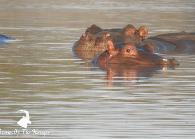 Hippos Under The Water At Sunset Dam Kruger Park
