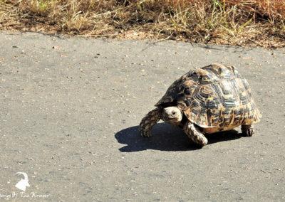 Leopard Tortoise Walking On The H4-2 Kruger Park