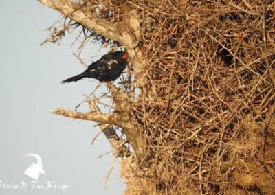 Red-billed Buffalo Weaver Close To Nest At Sunset Dam Kruger Park