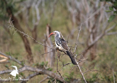 Red-billed Hornbill Perched For A Photo Near Crocodile Bridge Kruger Park