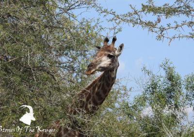 Southern Giraffe Peering Around Acacia Tree Kruger Park