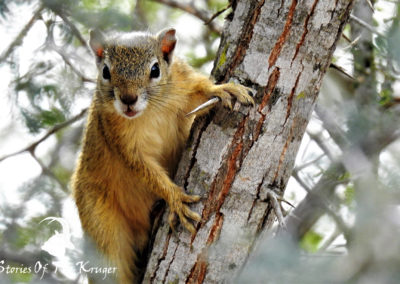 Southern Tree Squirrel On Acacia Tree Kruger Park