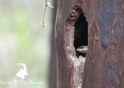 Striped Skink Lake Panic Bird Hide Kruger Park