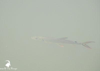 Tigerfish In The Sabie River Kruger Park