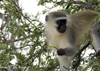 Vervet Monkey Foraging On The H4-1 Kruger Park