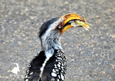 Yellow-billed Hornbill Eating A Grasshopper On the Road Kruger Park