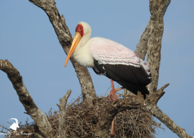 Yellow-billed Stork Perched In Tree At Sunset Dam Kruger Park