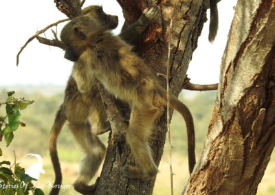 Young Chacma Baboons Playing Close To Lower Sabie Kruger Park